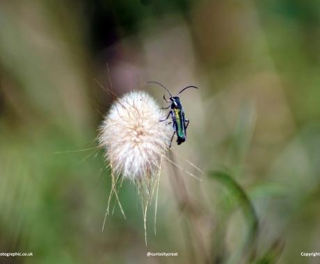Blistering beetle