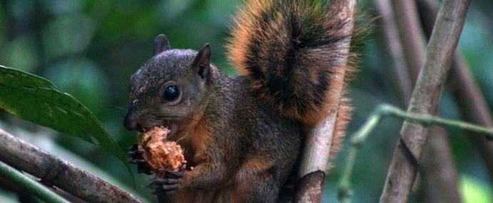 Squirrel_11_COS_CC