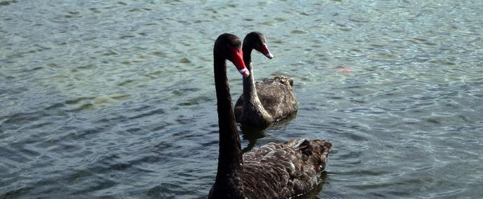 Swan_08_NZ_CC